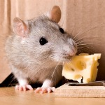 Rat-Mousetrap-And-Cheese-150